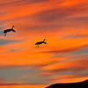 Sandhill Crane, Sunset<br /> Bosque del Apache, NWR, New Mexcio, USA