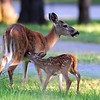White-Tailed Deer (Doe & Fawn)<br /> Lake Pend Oreille, Idaho<br /> Peninsula Road