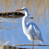 Great Egret<br /> Bosque del Apache, NWR, New Mexcio, USA
