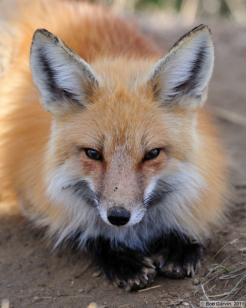 Red Tailed Fox<br /> Larimer County, Colorado