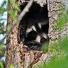 Raccoon<br /> Boulder County, Colorado