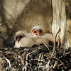 Barn Owlets<br /> Weld County, Colorado