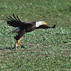 American Bald Eagle<br /> Weld County, Colorado<br /> Taking Black Tailed Preirie Dog