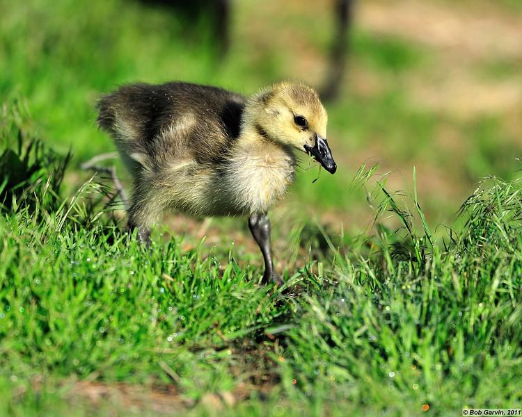 Canada Goose Gosling<br /> Boulder County, USA<br /> Walden Ponds