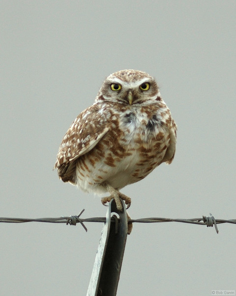 Burrowing Owl<br /> Lamier County, Colorado