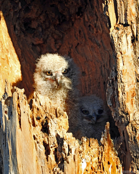 Great Horn Owlets<br /> Boulder County, Colorado