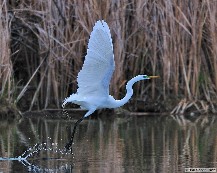 Great Egret (Breeding Plumage)<br /> Boulder County, Colorado