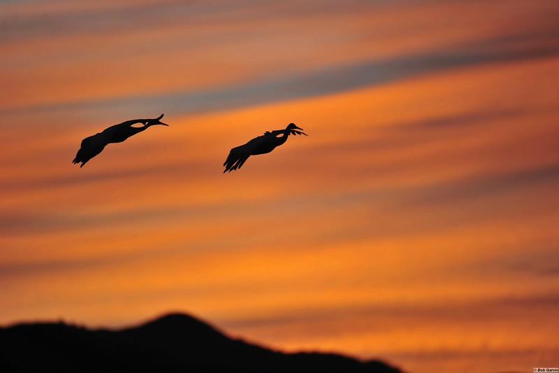 Sandhill Cranes (Sunset)<br /> Bosque del Apache, NWR<br /> Socorro County, New Mexcio