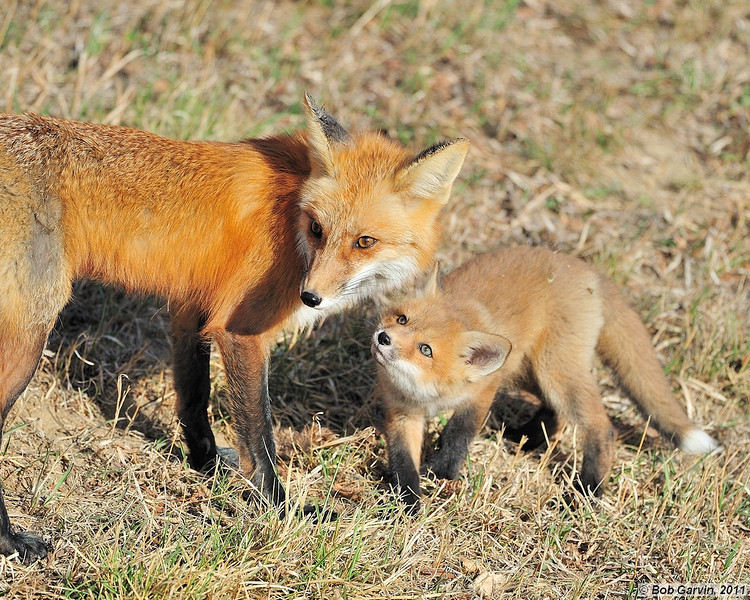 Red Tailed Fox & Kit<br /> Boulder County, Colorado