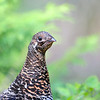 White-tailed Ptarmigan (female)<br /> Glacier National Park, Montana<br /> Inside North Fork Road