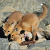 "Red Tailed Fox Kits<br /> Boulder County, Colorado<br /> ""Hey...let me up"""