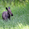 Moose<br /> Lake Pend Oreille, Idaho