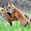 Red Tailed Fox and Kit<br /> Boulder County, Colorado