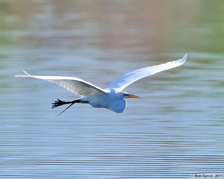 Great Egret<br /> Boulder County, Colorado<br /> Walden Ponds