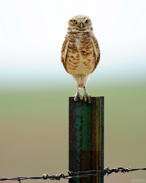 Burrowing Owl<br /> Weld County, Colorado<br /> Pawnee National Grasslands