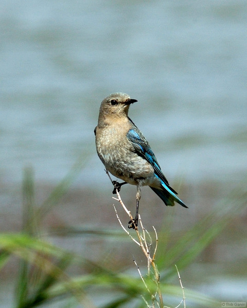 Mountain Blue Bird (Female)<br /> Jackson County, Colorado<br /> Lake John