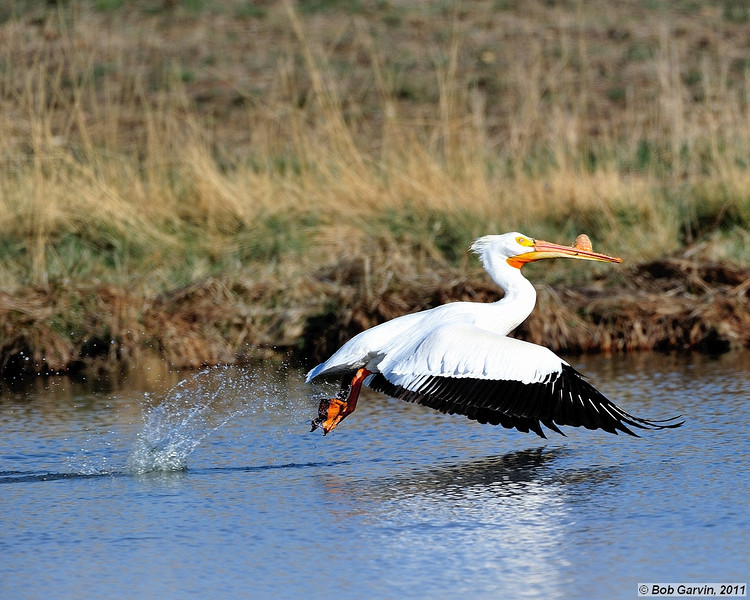 American White Pelican<br /> Boulder County, Colorado