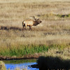 ELk (Bugling)<br /> Rocky Mountain National Park<br /> Moraine Park<br /> Larimer County, Colorado