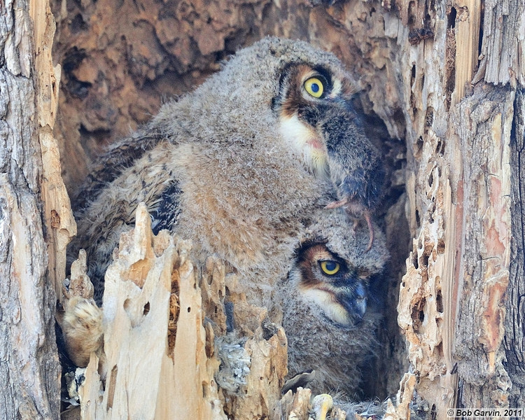"Great Horned Owlets<br /> Boulder County, Colorado<br /> ""Eating a Vole"""