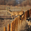 """Boing-Boing""<br /> White Tailed Deer<br /> Weld County, Colorado"