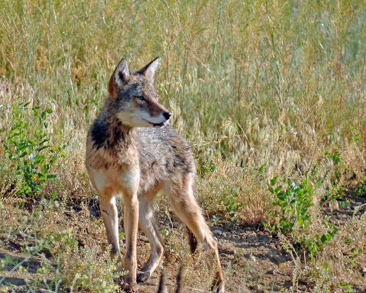 Coyote<br /> Boulder County
