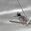 """BURR""<br /> Belted KingFisher<br /> Boulder County, Colorado"