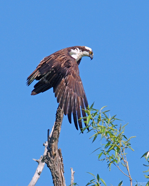 Osprey<br /> Boulder County, Colorado<br /> Sawhill Ponds