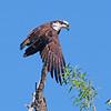 Osprey<br /> Boulder County, Colorado<br /> Sawhill Ponds