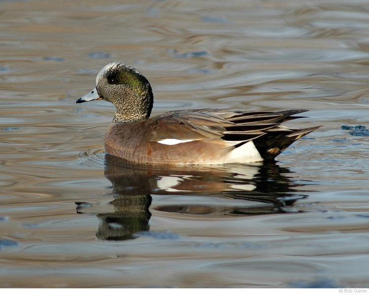 American Wigeon<br /> Boulder County, Colo