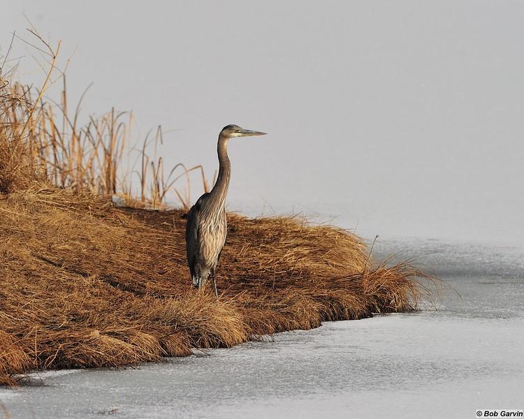 Great Blue Heron<br /> Boulder County, USA<br /> McCall Lake