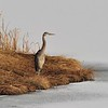 Great Blue Heron<br /> Boulder County, USA<br /> McCall Lake