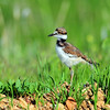 Killdeer (Baby)<br /> Boulder County, Colorado<br /> N. 55th St.