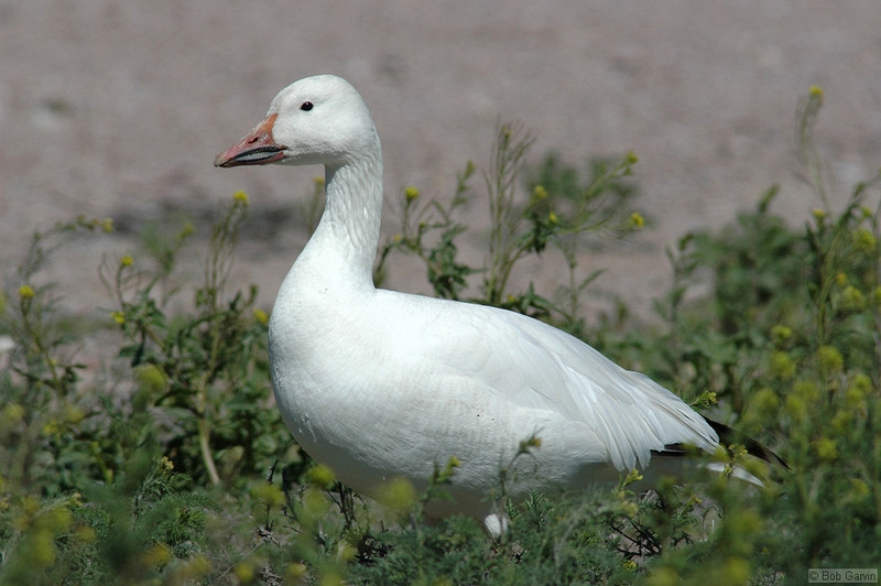 Snow Goose<br /> <br /> Bosque de Apache National Wild Life Reserve<br /> New Mexcio