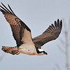 Osprey<br /> Boulder County, Colorado