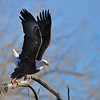 American Bald Eagle<br /> Boulder County, Colorado<br /> 75th and Boulder Creek