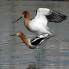 American Avocet (mating)<br /> Boulder County, Colorado<br /> Sawhill Ponds