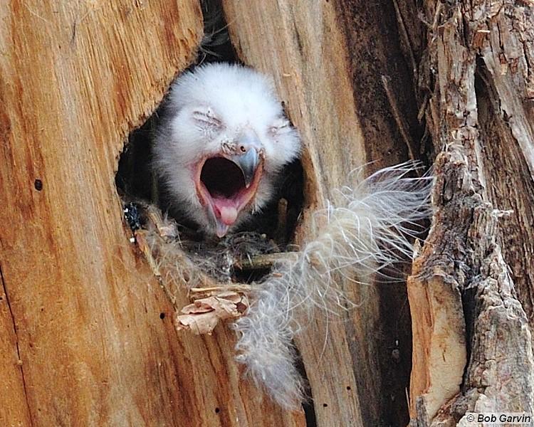 Great Horned Owlet<br /> Boulder County, USA
