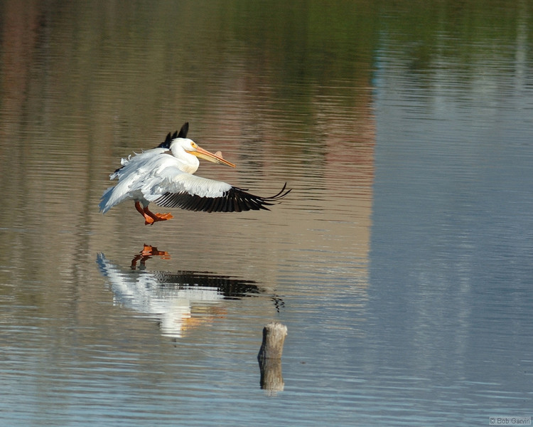 American White Pelican<br /> Boulder County, USA<br /> Walden Ponds