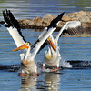 "American White Pelican<br /> Boulder County, Colorado<br /> Walden Ponds<br /> ""Don't Shoot, We Give Up!"""