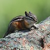 Least Chipmunk<br /> Rocky Mountain National Park<br /> Larimer County, Colorado