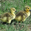 Canada Goose Goslings<br /> Boulder County, Colorado<br /> Walden Ponds