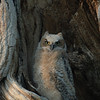 Great Horned Owl Chick<br /> Boulder County, Colorado<br /> Sawhill Ponds