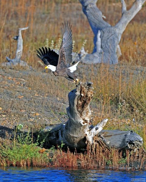 American Bald Eagle<br /> Weld County, Colorado