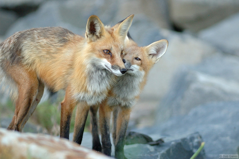 Red Tailed Fox (Pup & Mom)<br /> Boulder County, Colorado