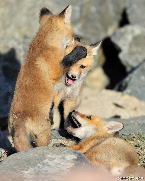 """Red Tailed Fox Kits<br /> Boulder County, Colorado<br /> """"Hey! Get your Paws off of me"""""""