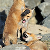 "Red Tailed Fox Kits<br /> Boulder County, Colorado<br /> ""Hey! Get your Paws off of me"""