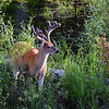 Whitetail Deer (Buck)<br /> Glacier National Park, Montana<br /> Inside North Fork Road