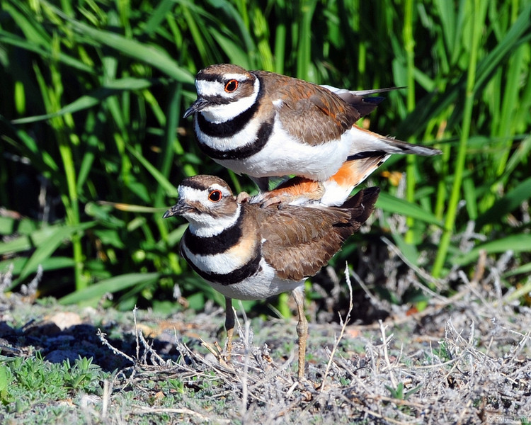 Killdeer (mating)<br /> Boulder County, Colorado<br /> Lagerman Reservoir