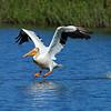 American White Pelican<br /> Boulder County, Colorado<br /> Dodd Reservior