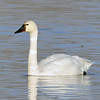 Tundra Swan<br /> Boulder County, Colorado<br /> Walden Ponds